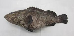 reeffish1